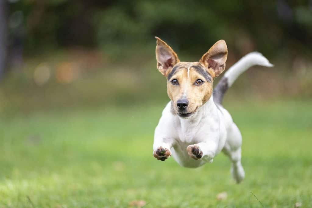 Dog runing on grass