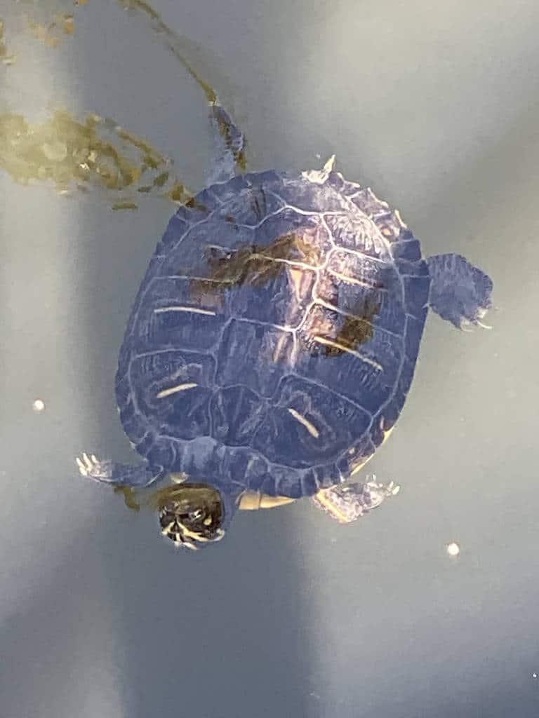 El Dorado Nature Center - Swimming Turtle
