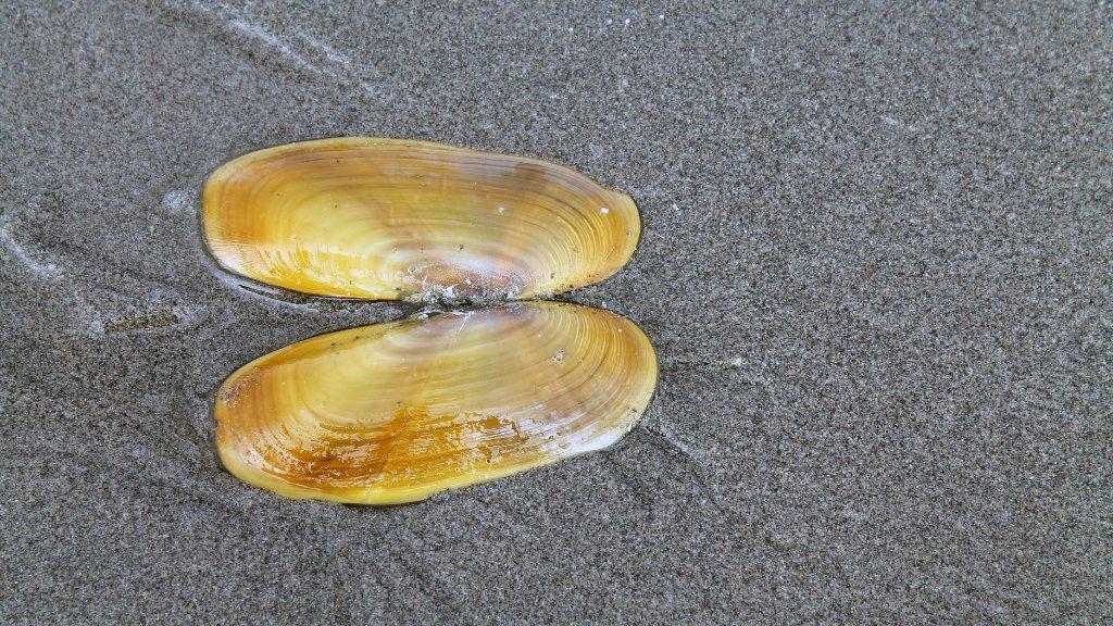 Razor Clam on wet sand
