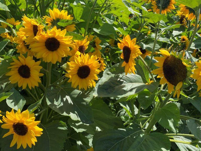 Sunflower field closeup