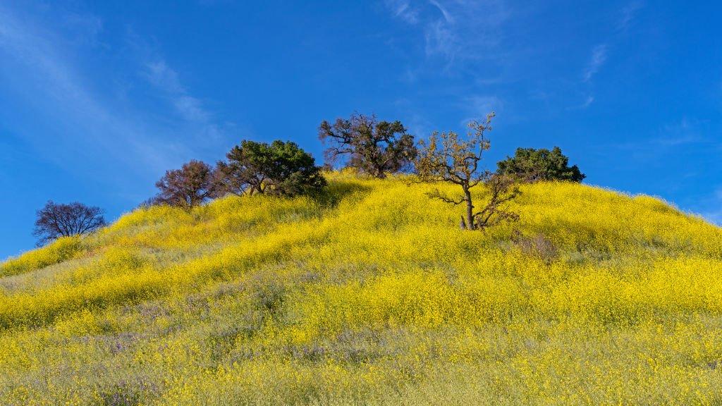 Wildflowers in Malibu Creek State Park